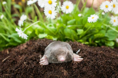mole with sunflower