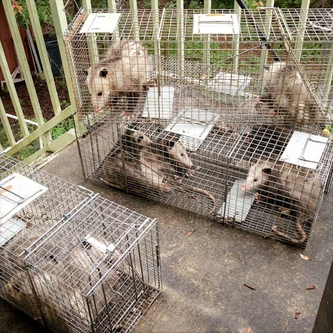 caged opossums